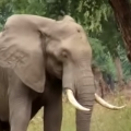 Elephant Calmly Asks For Help