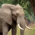 Elephant Calmly Asks For Help