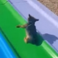 Dog Rides Slide Over and Over Again