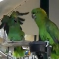 Parrots Argue Like An Old Married Couple