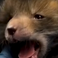Cutest Little Baby Fox Grows Up And Goes Back To The Wild