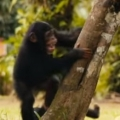 Kind folks teach orphaned baby chimps how to climb for first time