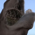 Camels eat cacti with 6-inch needles