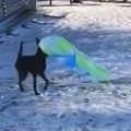 Dog carries sled up and rides it down