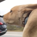 5-month-old puppy enjoying car ride