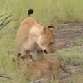 Lion cubs try to roar like their father