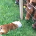 Curious bulldog meets group of curious cows