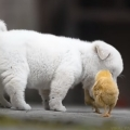 Adorable Puppy Playing with Baby Chicks