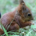 Adorable Sounds of Baby Squirrel Eating