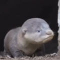 Otter family's reaction when they find their lost baby