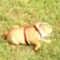 Bulldog Puppy Loves Rolling Down The Hill