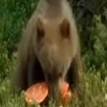 Bear Eats Psychedelic Mushrooms