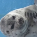 This jiggly seal may brighten your day