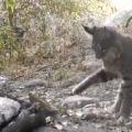 Bobcat vs. rattlesnake