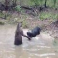 Kangaroo Tries To Drown A Dog
