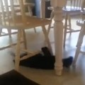 Crazy Cat Slides Under Kitchen Chairs In Circles