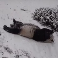 Adorable giant pandas frolic in the snow