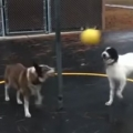 Two Dogs Play Tetherball