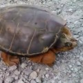 Snapping Turtle Attacks After Dude Pisses It Off