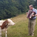 Cow falls in love with the accordion