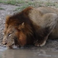 Turtle Chases Lions From His Waterhole