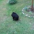 Tiny dog chases bear up a tree