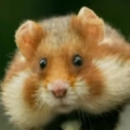 European hamster out for a stroll